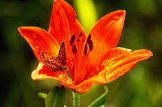 Perhonen / Butterfly