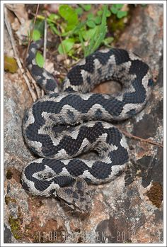 Horned Viper - Vipera ammodytes meridionalis