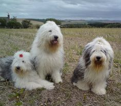 Our present Fluffies @ home are from left to right in this photo - Daisy Dog Bobby Boy & Muffin Maclay xXx This shot was taken in Auchterless in a farmers field behind our home. We have been owned by OES for over 15years and couldn't imagine life without one or two running around us xXx Benachie is a dormant volcano in the background, that you can see from all the rooms in the house. She is one magnificent mountain to climb with various gentle or strenuous walks to the top with the Kids…