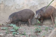 Pygmy Hog (Porcula salvania); previously spread across India, Nepal, and Bhutan, but now only found in Assam. The current world population is about 150 individuals or fewer. Recent conservation measures have improved the prospects of survival in the wild of this critically endangered species.