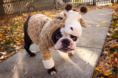 Ha Ha! This French Bulldog doesn't look very happy!  I don't think he wants to be a giraffe!