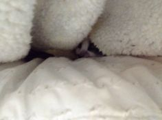 Can you spot the kitty in the blankets? #princessthecutiecat #calicocutiecat #cutiecat13