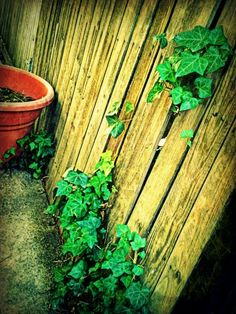 ivy escape