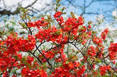 """Find """"japanese quince"""" stock images in HD and millions of other royalty-free stock photos, illustrations and vectors in the Shutterstock collection. Thousands of new, high-quality pictures added every day. Chaenomeles, Virtual Art, Dream Garden, Hedges, Garden Plants, Bonsai, Shrubs, Pink Flowers, Royalty Free Stock Photos"""