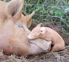 Baby pig sleeping on mommy pig's snout.                                                                                                                                                                                 More