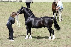 Welsh Pony of Cob Type (section C) - stallion Pervadean Renegade
