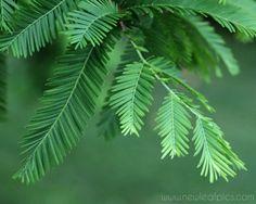 Dawn Redwood tree needles (Metasequoia glyptostroboides) by NewLeafPics, $25.00