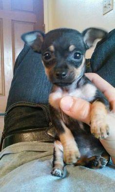 min pin chihuahua mix. min pin, chihuahua Chihuahua