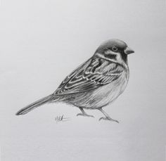 Drawing of a sparrow for Ella by me, Max Hamilton.