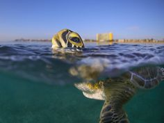 A green sea turtle raises for a breath just off the coast of Florida.  Exploring the water world means understanding it fragile state.