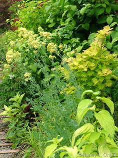 Thalictrum flavum subsp. glaucum with Cornus sericea subsp. occidentalis 'Sunshine' and Acer shirasawanum 'Aureum'; Nancy J. Ondra at Hayefield