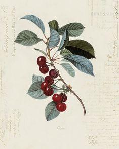 "Vintage Illustration Vintage Cherry ""Cerise"" on French Ephemera Print - //////////simple Vintage Botanical Prints, Botanical Drawings, Vintage Prints, Antique Illustration, Plant Illustration, Vintage Illustrations, Botanical Flowers, Botanical Art, Koch Tattoo"