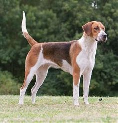 Lil is an English Foxhound! Akc Dog Breeds, Dog Breed Info, Best Dog Breeds, Best Dogs, English Foxhound, Dogs With Jobs, Great Dane Mix, Treeing Walker Coonhound, Group Of Dogs