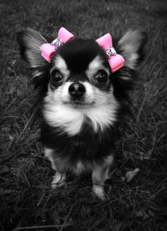 Splash of Color: Chihuahua with pink bows