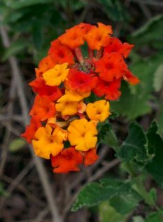 Deer Resistant Plants for Austin and Central Texas! Deer Resistant Shade Plants, Deer Proof Plants, Drought Resistant Plants, Drought Tolerant, Lantana Flower, Flowers Perennials, Texas Landscaping, Landscaping Tips, Texas Plants