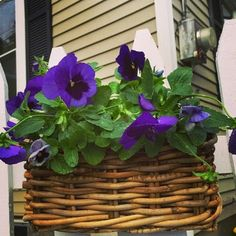 Domestically Challenged: Home, Kitchen and Garden For the Rest of Us : Variety in Your Fall Garden: Icicle Pansies