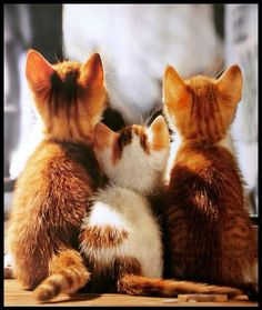 What a Cute Set of Kittens! - For more loveable pictures of cats and kittens, visit our website here. Pretty Cats, Beautiful Cats, Animals Beautiful, Beautiful Things, Cute Kittens, Ragdoll Kittens, Bengal Cats, I Love Cats, Crazy Cats