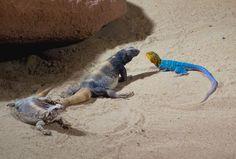 Desert Lizards Free Stock Photo - Libreshot