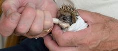 Feeding a Hungry Hoglet Horses And Dogs, Pebble Beach, Hedgehogs, Days Out, Meet, Animals, Animales, Animaux, Hedgehog