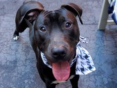 TO BE DESTROYED 10/10/14 Manhattan Center   FLOUNDER - A1015343  *** HELPER DOG *** EXPERIENCED HOME, NO SMALL CHILDREN ***  MALE, BLACK / WHITE, PIT BULL MIX, 1 yr STRAY - STRAY WAIT, NO HOLD Reason STRAY  Intake condition UNSPECIFIE Intake Date 09/25/2014, From NY 10463, DueOut Date 09/28/2014,