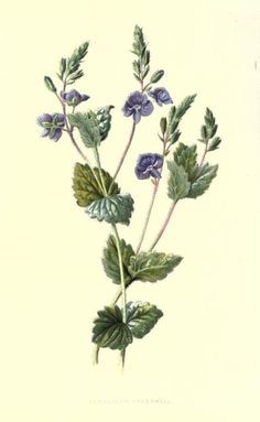 Familiar wild flowers figured and described