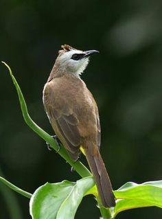 Birds in Thailand: Yellow vented Bulbul