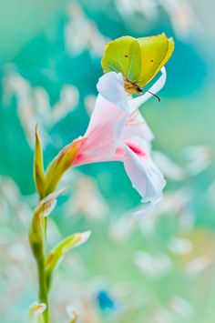 The Brimstone on the Gladiolus by Magda Wasiczek  on 500px