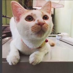 Pooma Cat | Pawshake Singapore