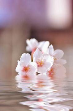 cerisier japonais, pétales roses flottants