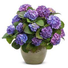 Proven Winners Let's Dance Blue Jangles ColorChoice Hydrangea 4.5 in. Quart