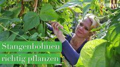 Stangenbohnen zu pflanzen ist kinderleicht. In unserem Praxis-Video zeigen wir Ihnen, wie es geht.