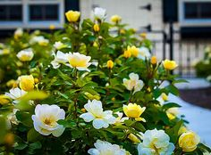 knockout rosen Months of Yellow Blooms & A Citrusy The Sunny Knock Out Rose is famous for.<br> Sweet-smelling flowers- the first fragrant Knockout<br> Long lasting Garden Shrubs, Flowering Shrubs, Shade Garden, Yellow Knockout Roses, Yellow Roses, Yellow Rose Flower, Rose Foto, Hydrangea Care, Herbs