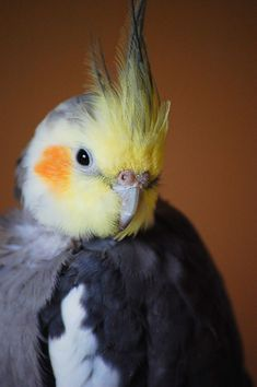 My male cockatiel look like this one, except that his cheeks have a brighter orange colour.  (said previous pinner)