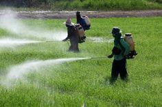 COMO TER UM MUNDO MELHOR: Consumo de transgênicos cultivados com o uso de herbicida pode ser prejudicial à saúde