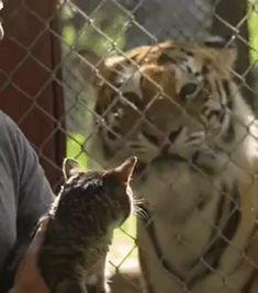 When a cat meets a tiger – GIF