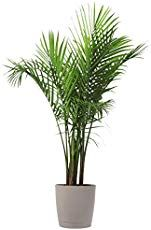 bathroom plants trends Costa Farms Majesty Palm Tree, Live Indoor Plant, 3 to Tall, Ships wit