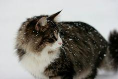 Unser Norweger CAMPINO im Schnee! Jänner 2017 Cats, Animals, Norwegian Forest Cat, Snow, Gatos, Animales, Animaux, Animal, Cat