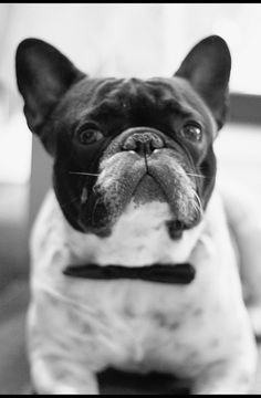 l'abito della festa by destino2003 (diegofornero.it), via Flickr #dogs #frenchie