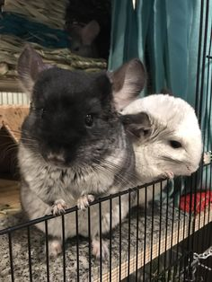 They're the most active in the morning #aww #cute #chinchilla #chinnies #chinchillasofpinterest #cuddle #fluffy #animals #pets #bestfriend #boopthesnoot #itssofluffy #rodents