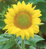Zebulon dwarf sunflower (Helianthus annus) This variety grows up to 24 inches. We are planting 10 varieties of dwarf sunflowers as a temporary filler for the flower bed, as we can't plant bulbs until October or November in our hot desert climate.
