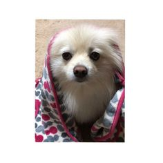 . . アーモンド食べてたら 寄ってきた人。 . . #ぽめ #ぽめらにあん #白ぽめ #ポメ #ポメラニアン #白ポメ #デブ #ヒナさん#愛犬 #親バカ  #baby #cute #nice  #pomstagram #love  #pome #pomeranian  #bigsize  #spitz #not #dog #baby #cute #nice  #pomstagram #love #sweet #girl #blanket #goodgirl #lovely