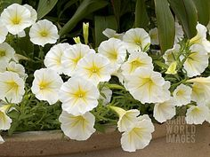 'Baby Duck Yellow' Petunia - annual
