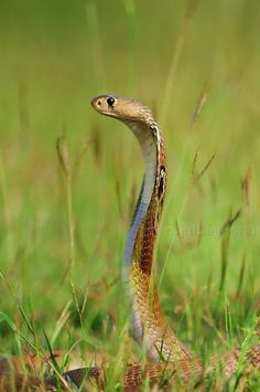Snake Images, Snake Photos, Pretty Snakes, Beautiful Snakes, Alligators, Anaconda, Indian Cobra, Snake Facts, Colorful Snakes