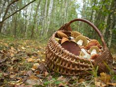 Growing mushrooms isn't difficult, and if you plant them today they can be ready in a week or less! In this post we cover Growing Mushrooms for Beginners. Edible Mushrooms, Stuffed Mushrooms, Fungi, Health Benefits Of Mushrooms, Mushroom Identification, Mushroom Species, Chicken Of The Woods, Mushroom Grow Kit, Mushroom Cultivation