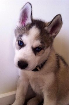 I solemly swear that I'm up to no good.  Photo viamoyapreshovic #dog #humor #husky #funny #siberianhusky
