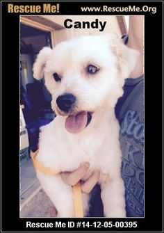 Rescue Me ID: 14-12-05-00395Candy (female)  Maltese Mix  Age: Young Adult  Personality:Average Energy, Average Temperament Health:Spayed, Vaccinations Current  Sweet little Candy just turned 3 yrs old in Sept. 2014., and doesn't shed. Most likely a Maltese Bichon mix. She loves being pampered (see bow in hair) and also likes to be the boss of the house. Older children are fine, younger ones may make her nervous. She loves play time and any attention that can be given. She has ...