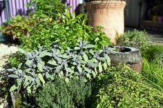 Collection of Herbs planted together in small garden bed , Herb Garden. Growing Herbs In Pots, Types Of Herbs, Herb Garden Design, Stock Foto, Herbs Indoors, Medicinal Herbs, Garden Beds, Vegetable Garden, Herbs Garden
