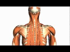 Back Muscles In A Nutshell | This video tutorial outlines the basic anatomy & muscles of the back