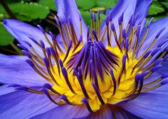 Heirloom 12 Nymphaea Seeds Water Lily Waterlily Red by seedsshop