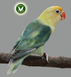 AGAPORNIS FISCHERI – FISCHERS LOVEBIRDS | Badilla Aviary